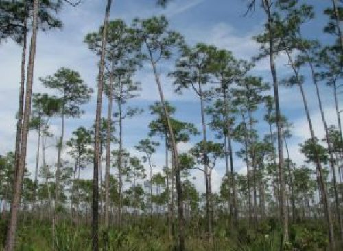 Everglades_Pinelands