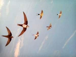 Divulgación ambiental, golondrinas en vuelo