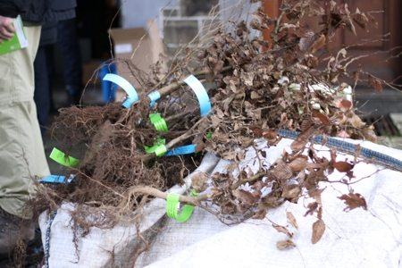 Novembre 2015: distribution de plants de charme et de hêtre.
