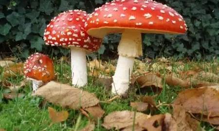 kako-se-gljive-razmnozavaju