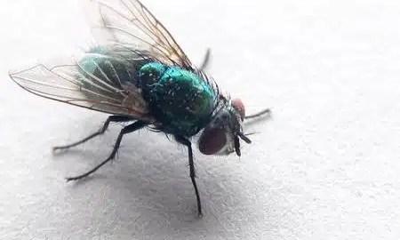 kako-se-legu-muhe