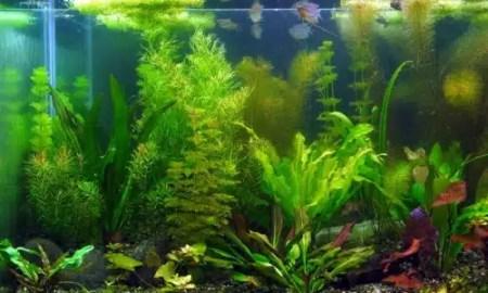 kako-odabrati-biljke-za-akvarij