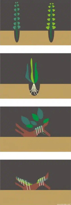 prikaz sadnje