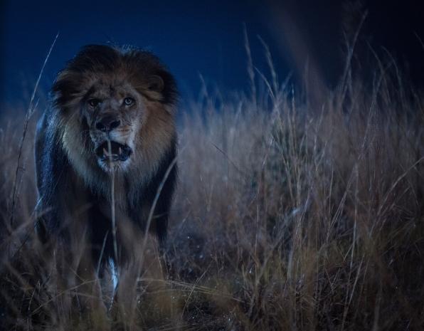 Zoo leone