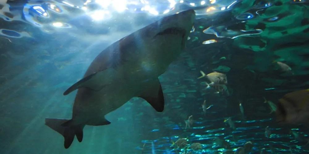 shark approaching