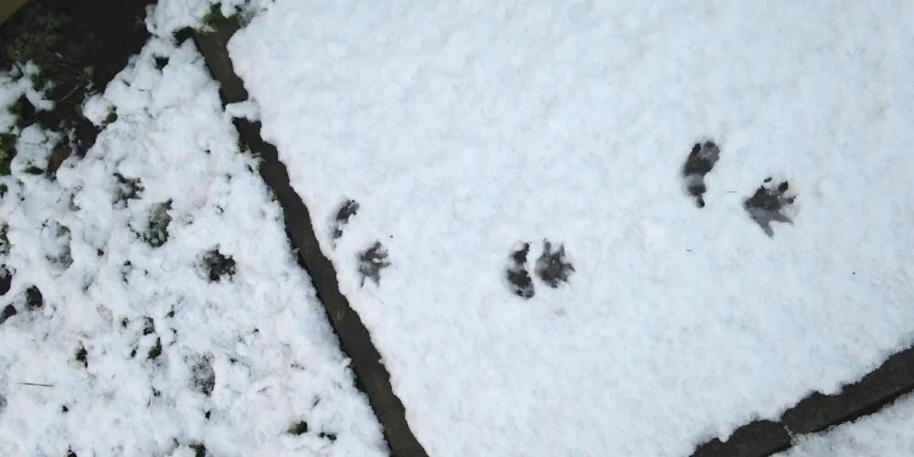 possum tracks in snow