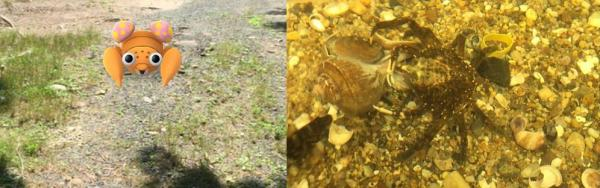 On the left, Paras, on the right, a crab in the Meigs Point Nature Center Touch Tank (Madison, CT; photos, Anika Dane)