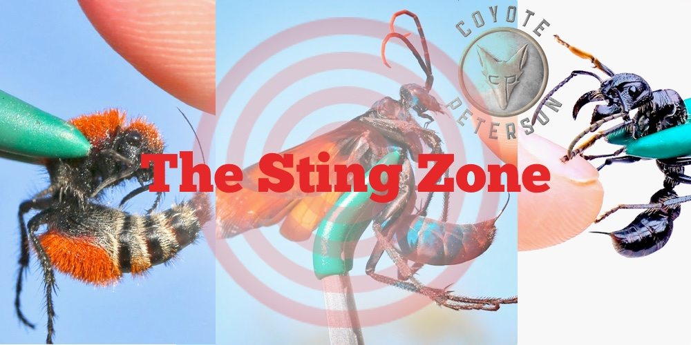 Enter the Sting Zone With Coyote Peterson