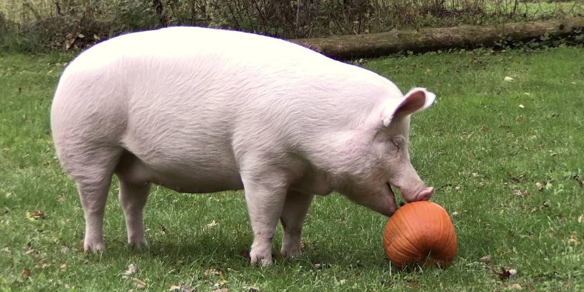 GeekDad Visits Happily Ever Esther Farm Sanctuary and Esther the Wonder Pig