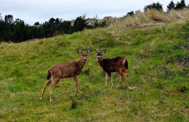BandonTrails17-Deer-JC