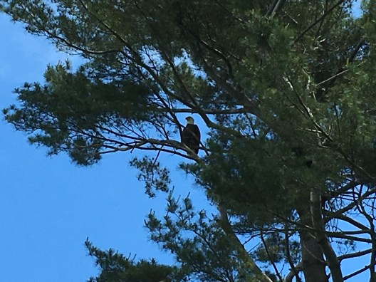 Bald eagle guarding its nest by 15 tee