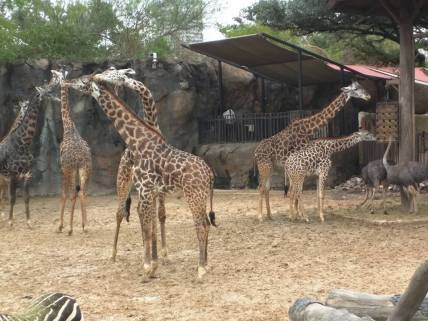 These giraffes were super into each other.