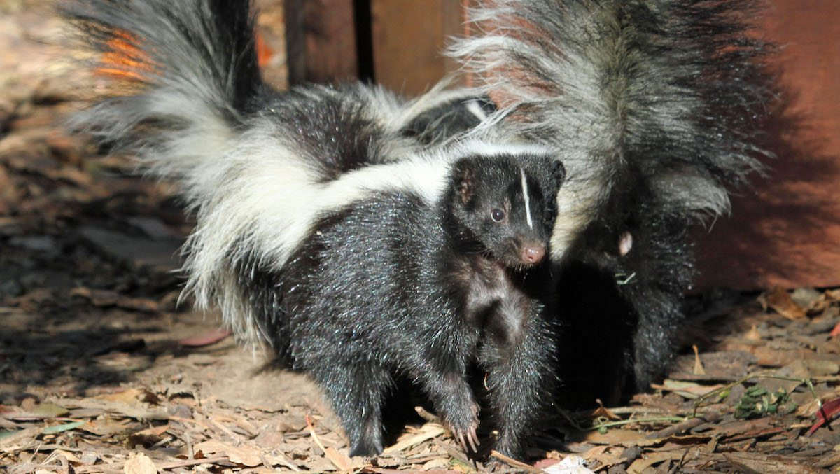 image of Skunk
