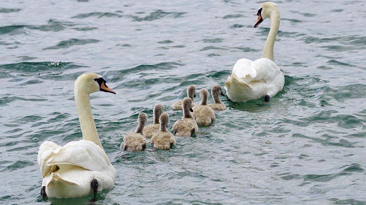 Family of swans \ Image: Pixabay