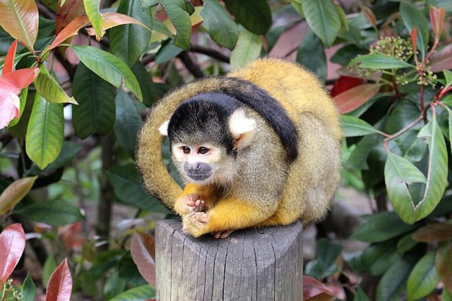 A Black-Capped Squirrel Monkey at In With the Monkeys, Image: Sophie Brown