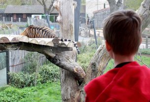 My Son Watches a Tiger at London Zoo, Image: Sophie Brown