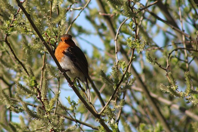 A European Robin, seen on my first bird walk, Image Sophie Brown