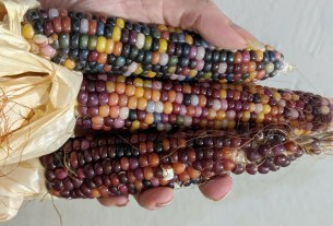Colorful corn on the cob