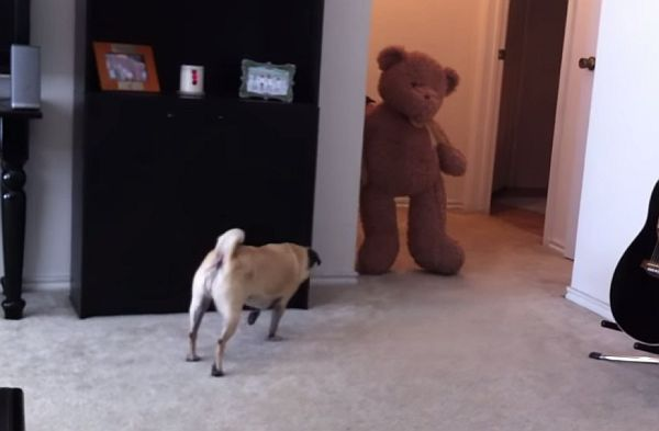 Video: The Result of Scaring a Pug with a Teddy Bear is Quite a Mess