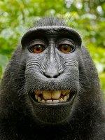Selfies de monos y derechos de autor, ¡vaya lío!