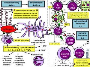 Immune Response | Geeky Medics