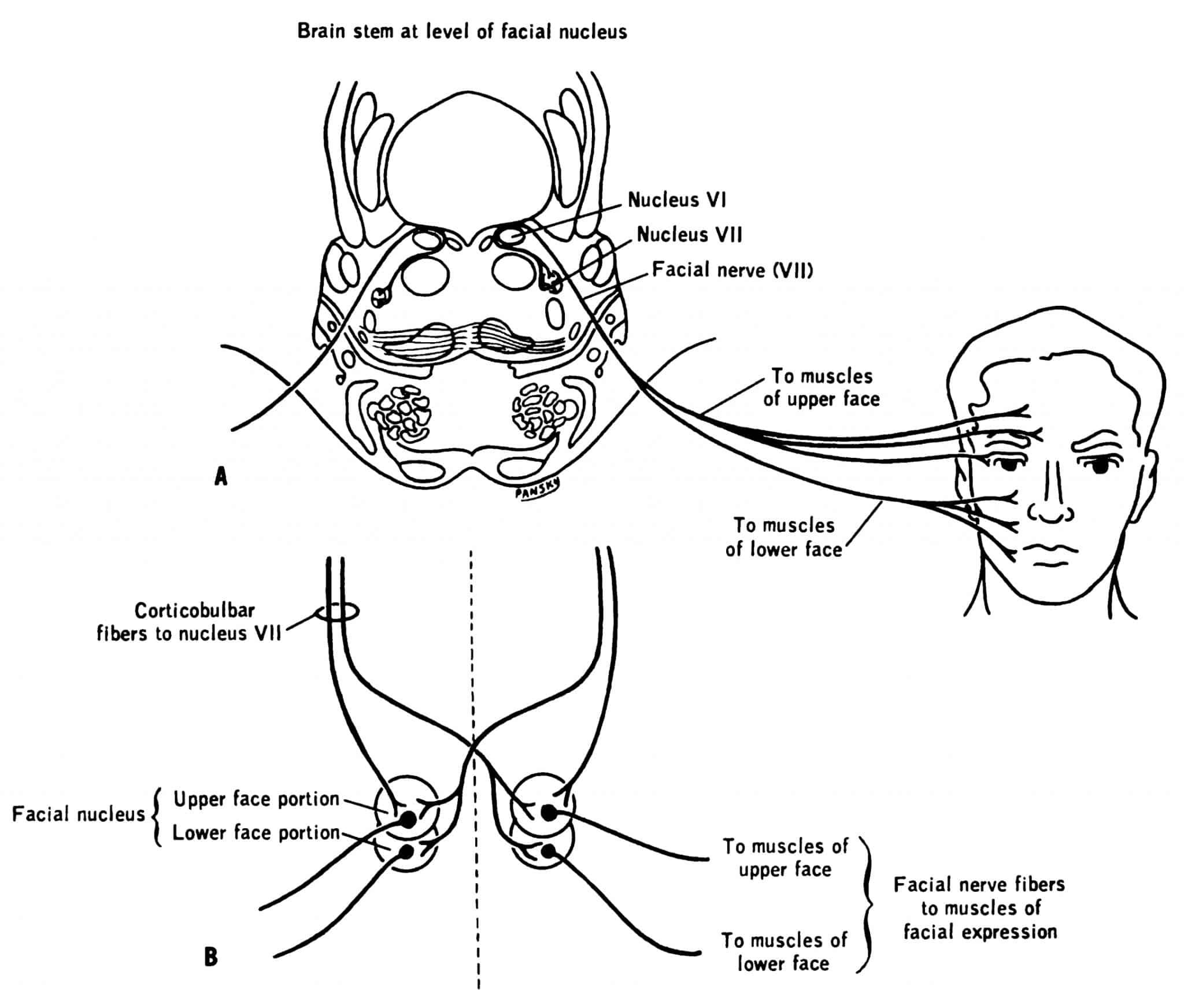 The Facial Nerve Cn Vii
