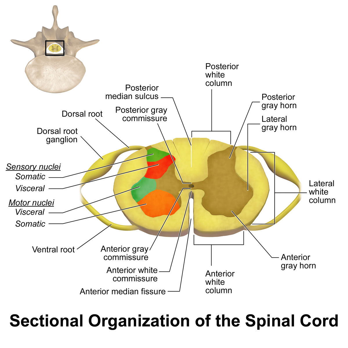 Spinal Cord Summary