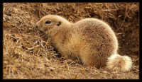 Richardson's Ground Squirrel