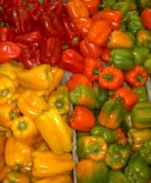 Red, orange, yellow, green bell peppers