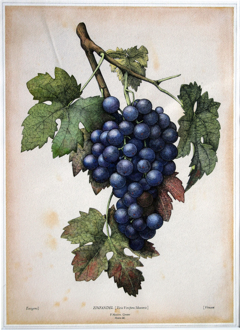 Paul Masson Grapes