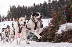 Hundeschlitten WM Todtmoos
