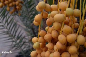 Dates- Oman