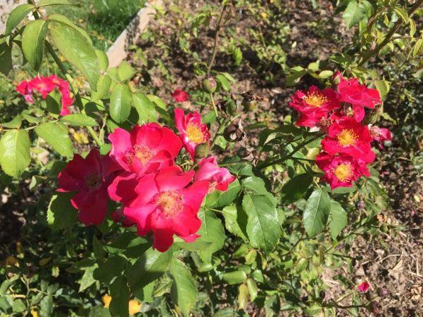 """Rose """"Leipzig"""" im Rosarium in Sangerhausen"""