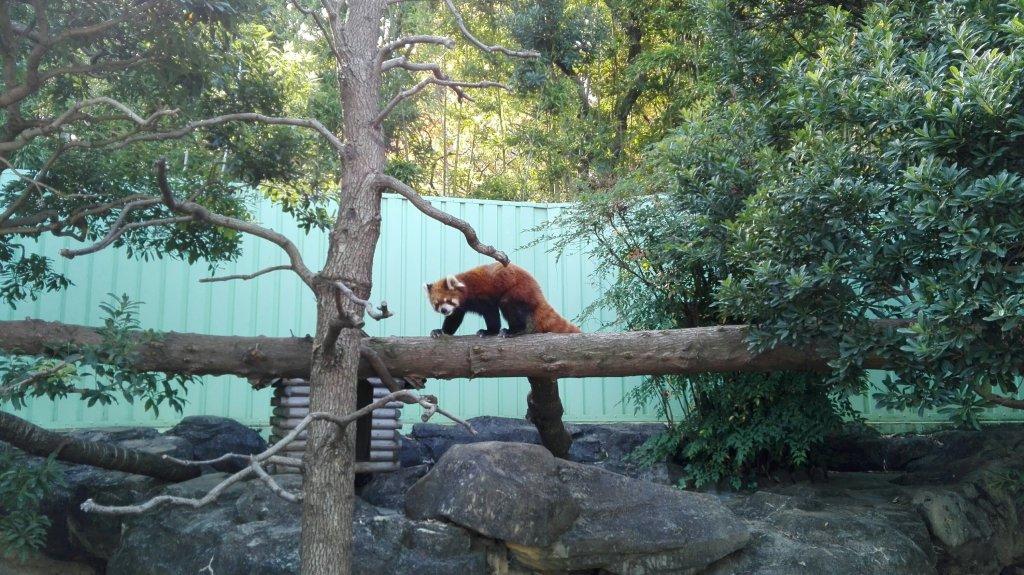 行船公園動物園レッサーパンダ