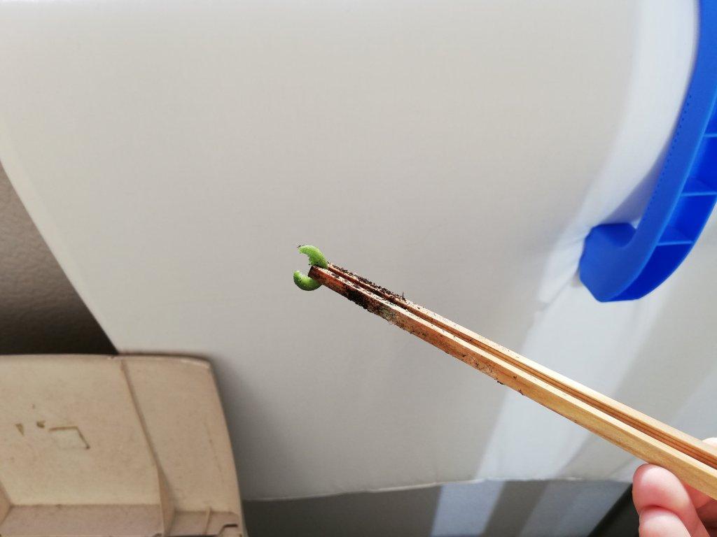 小松菜を食べる青虫を駆除