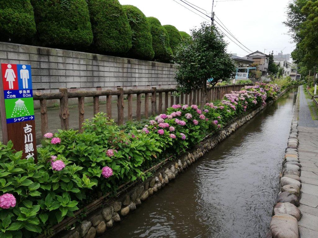 古川親水公園の紫陽花
