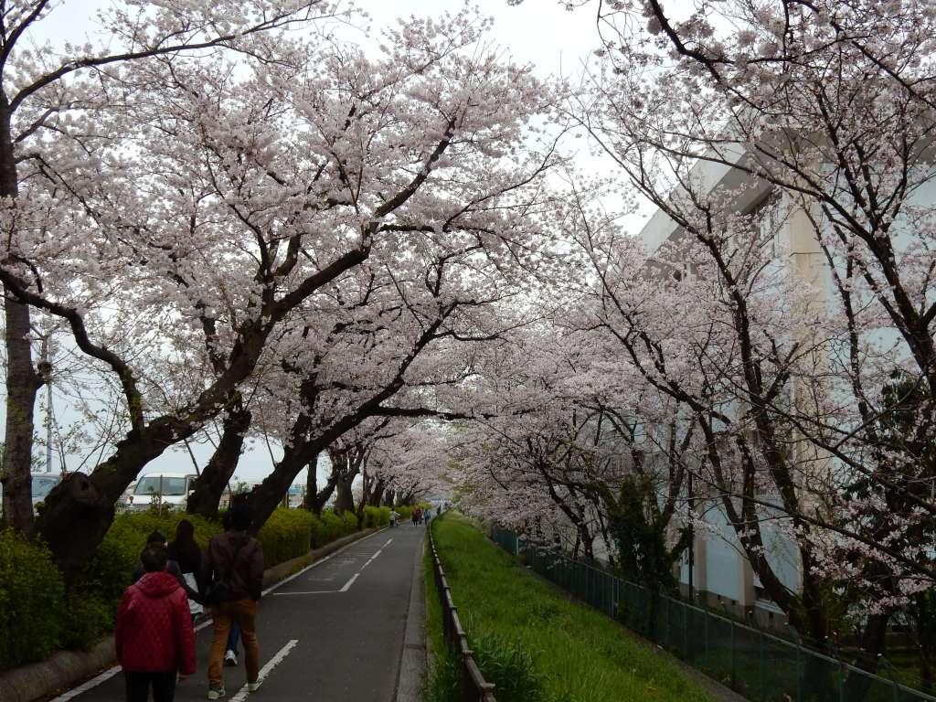 篠崎水門の桜並木