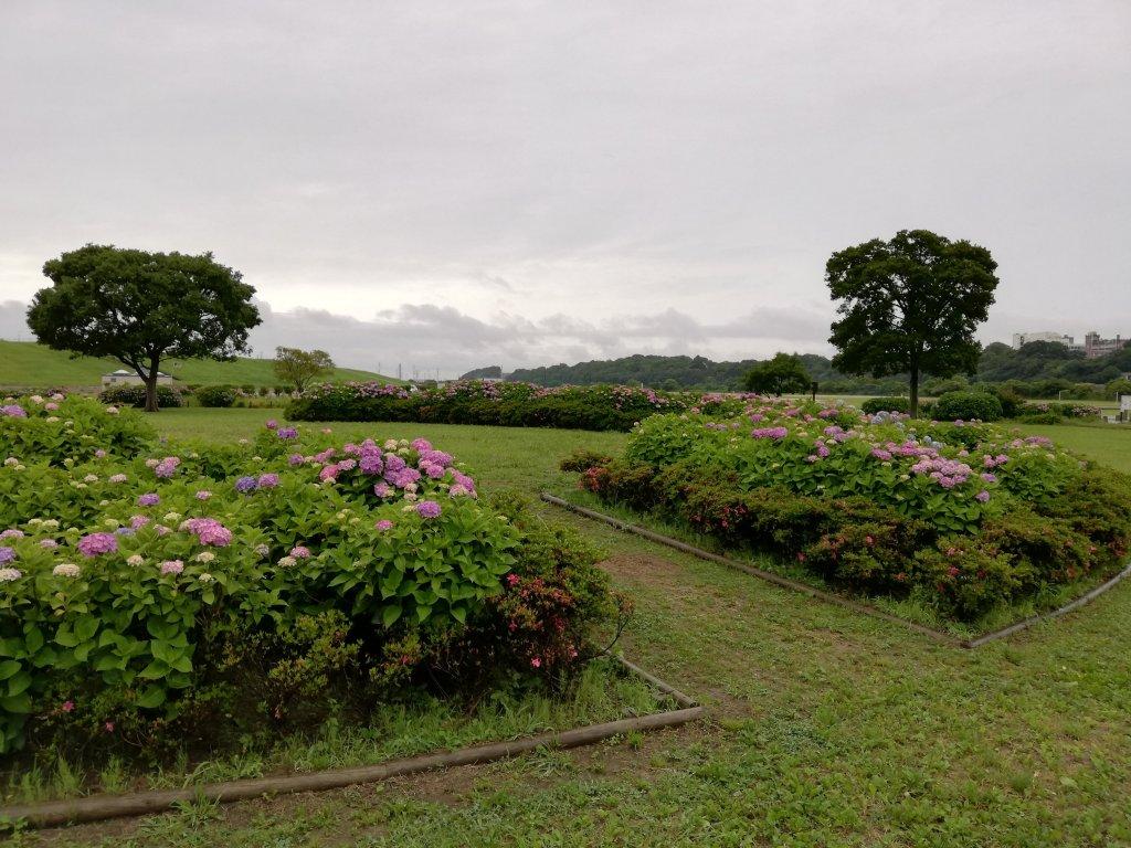 江戸川区の菖蒲園の紫陽花