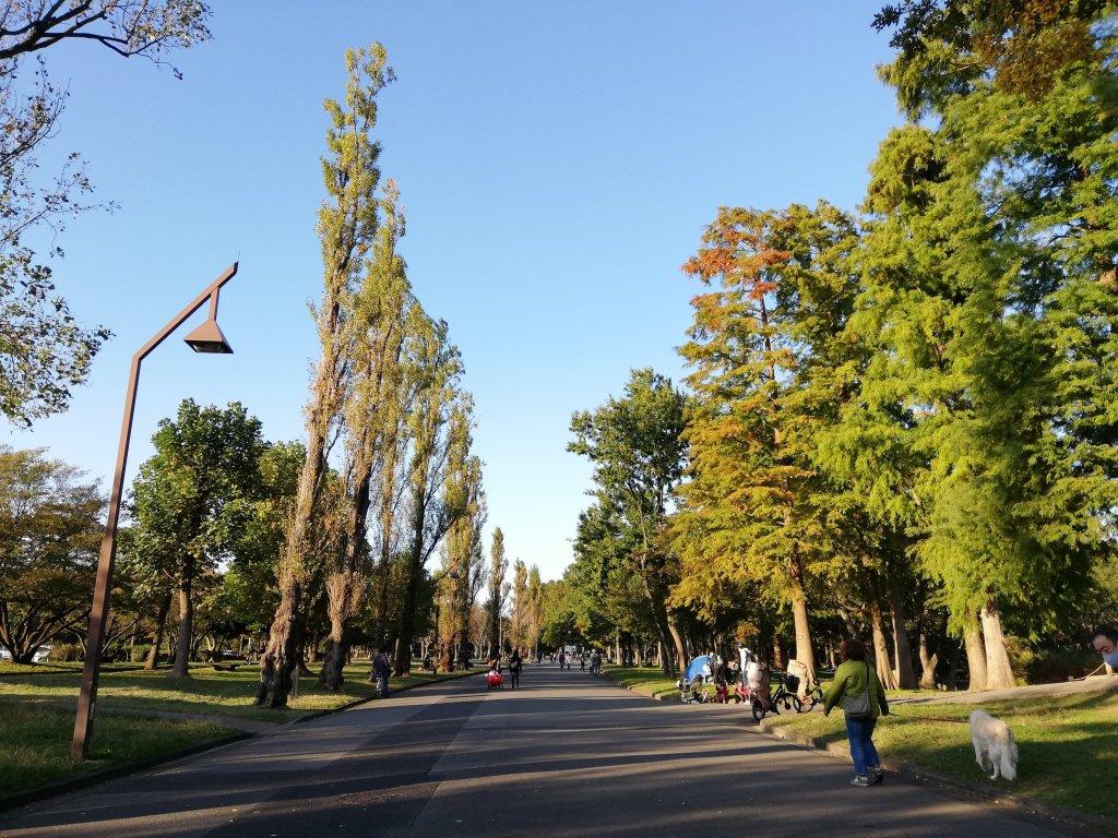 葛飾区の水元公園のポプラ並木