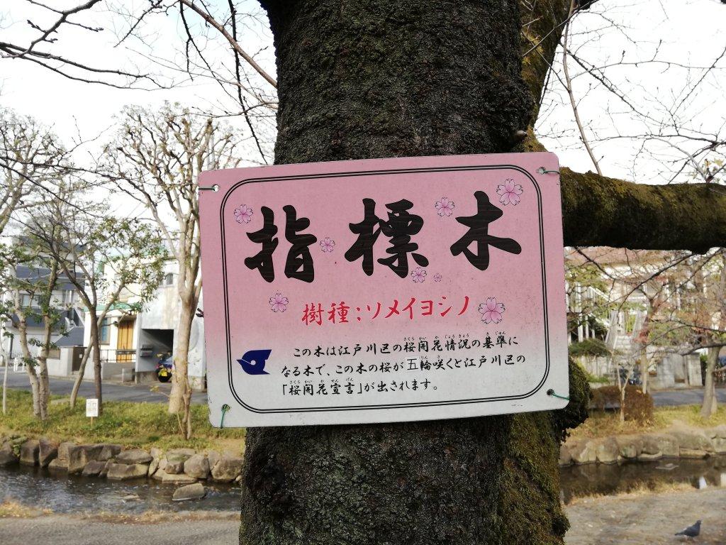 江戸川区の中央森林公園の桜は江戸川区の開花情報の標識木