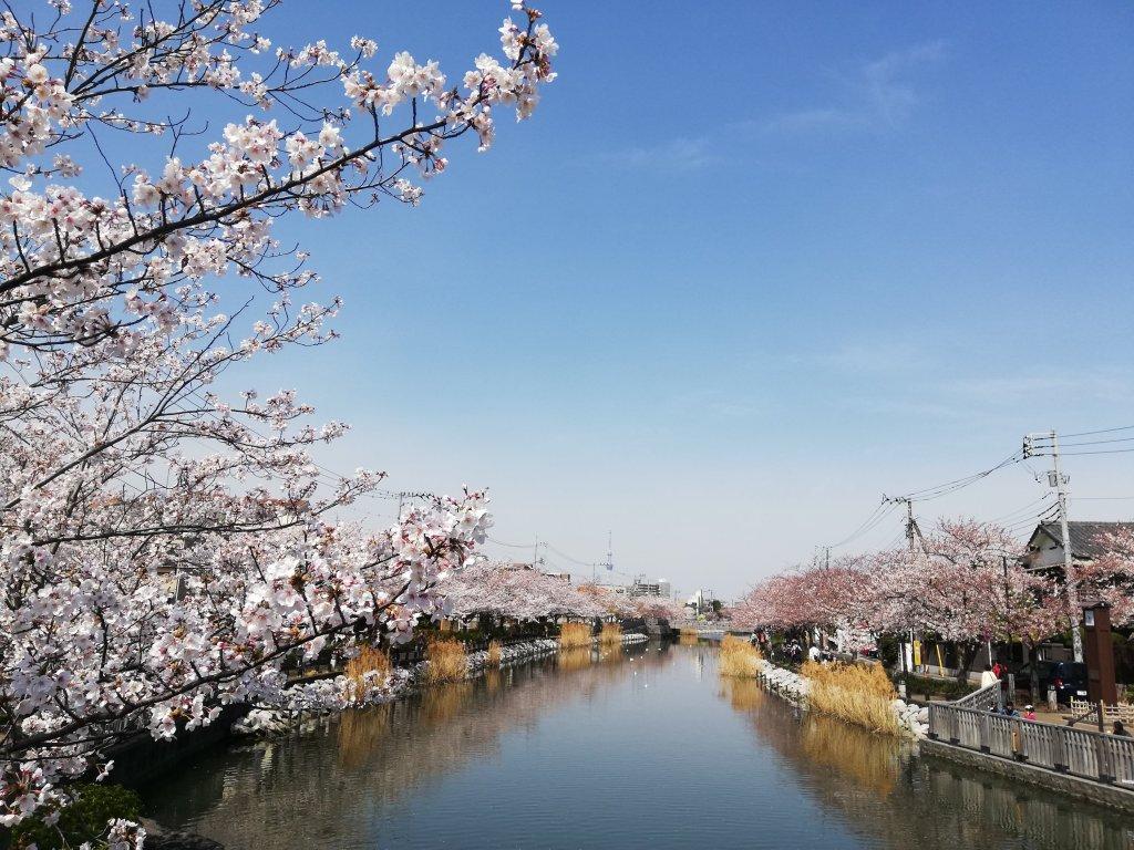 2021年春の江戸川区の新川千本桜
