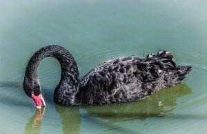 black-swan-feeding-204696_640