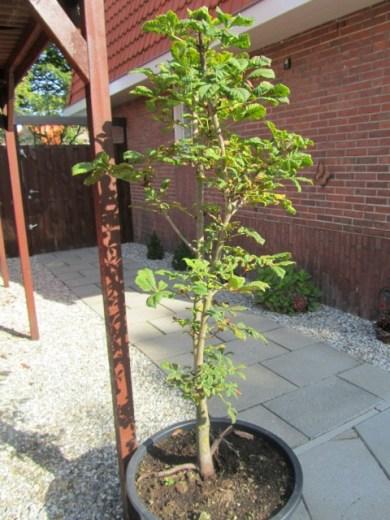 Onze bonsai kastanje 8-2014 (1) (Small)