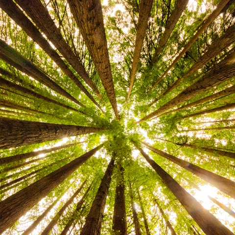 California Redwoods 1 - Square Photography by Deb Gartland