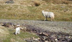 lamb-and-sheep-1