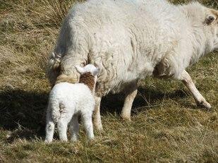 lamb-and-sheep-2
