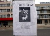 LOST SCHNAUZER, RENACA, CHILE