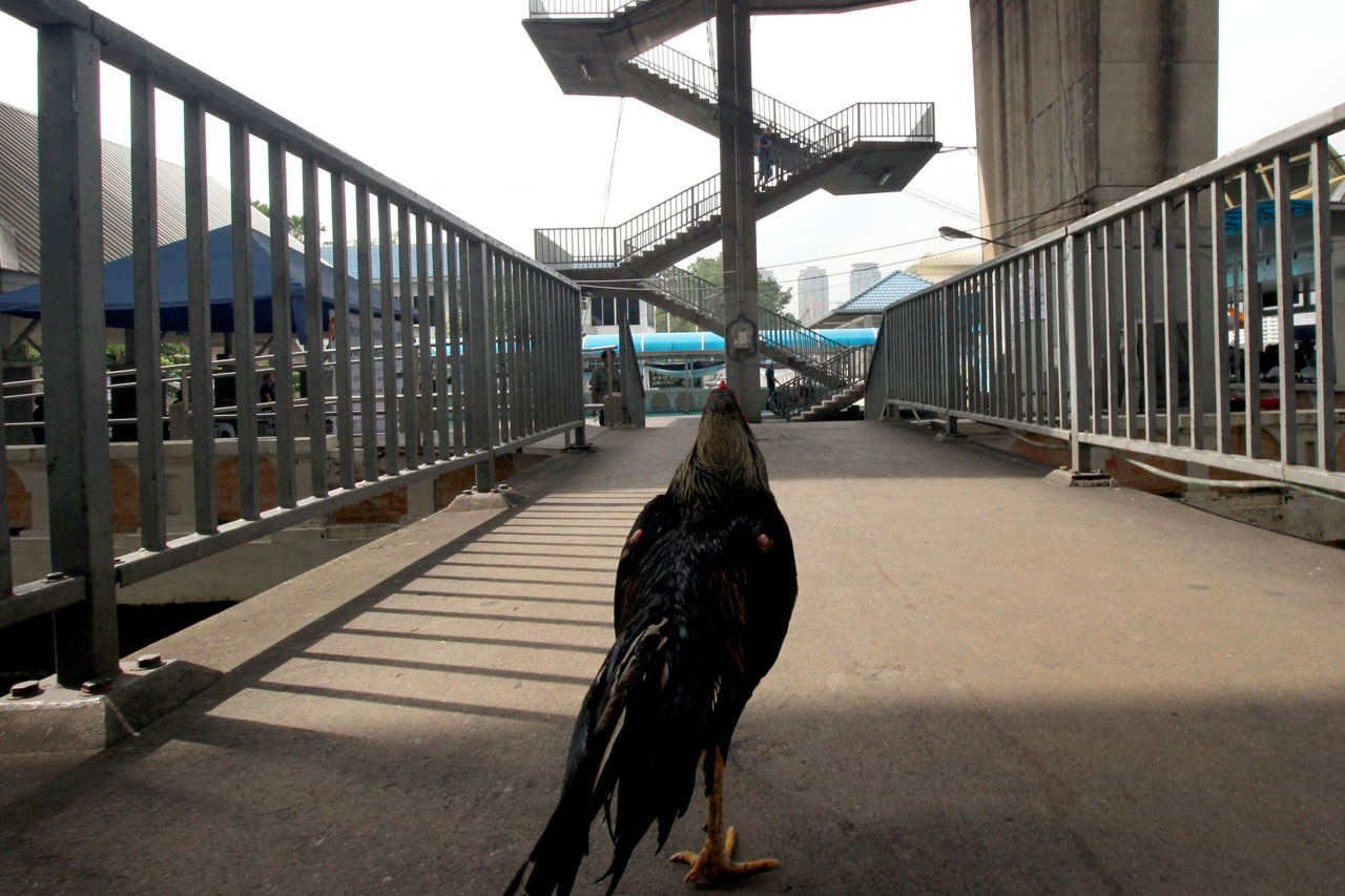 chicken on footbridge of Sathorn Pier