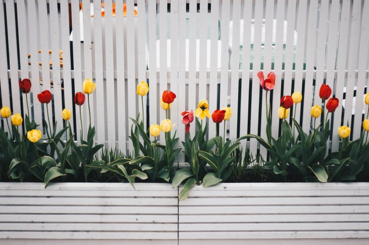 Flowers blooming in the garden this Spring in a bed in front of a  white fence