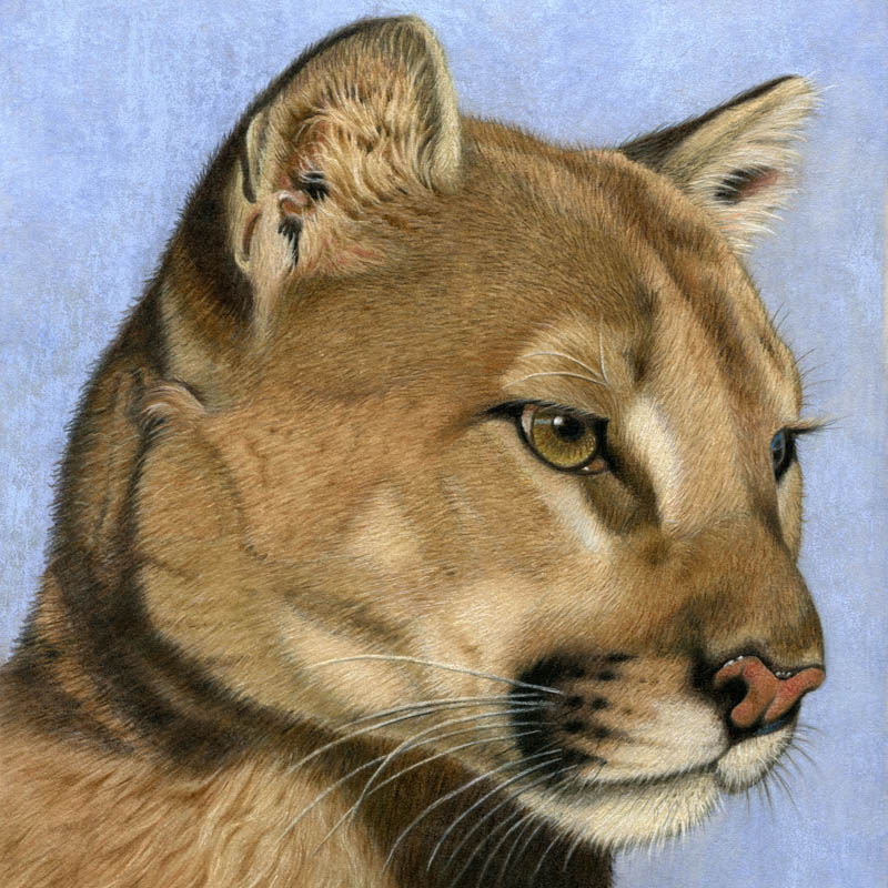 "Mountain Lion (Cougar) done with colored pencil on suede mat board, 8"" x 8"""